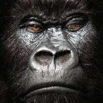 gorilla-Copy2