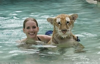 tiger-swimming-2