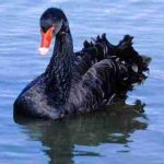 BlackSwan-Copy2-1