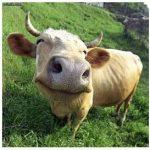 A Cow-Based Economics Lesson